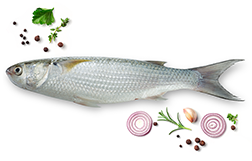 Flat head grey Mullet fish